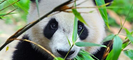 China sightseeing trip with panda experience & Abu Dhabi stay, Chengdu, Beijing & UAE